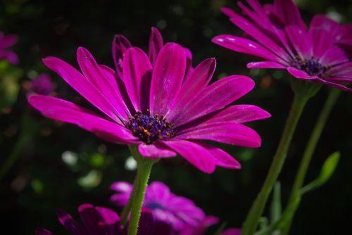 gėlė,augalas,marguerite,sėklos,žiedas,žydėti,žiedadulkės,rožinis,pavasaris,gamta,nuotrauka,vasara,Uždaryti,lapai,sodas,makro,makro nuotrauka,gėlių sodas,bitės