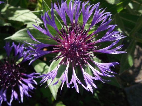 gėlė,rugiagėlė,vasara,mėlynas,kompozitai