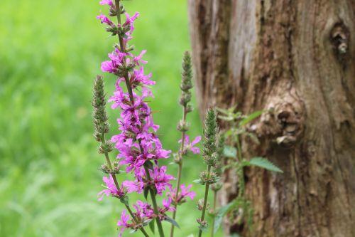 gėlė,violetinė,gamta,žiedas,žydėti,purpurinė gėlė,augalas,Uždaryti,gėlė violetinė,violetinė,filigranas,tamsiai violetinė,medis,mediena,žolė,pieva