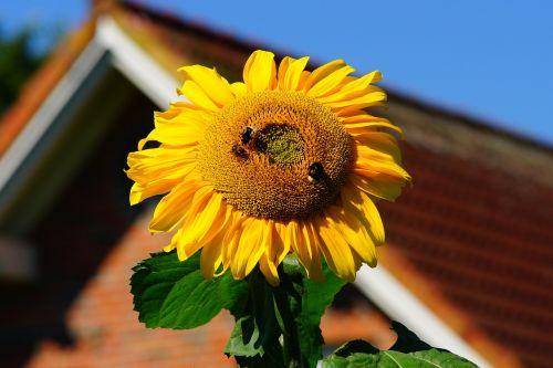 gėlė,žiedas,žydėti,saulės gėlė,augalas,gamta,geltona,vasara,geltona gėlė,vasaros gėlė,Uždaryti