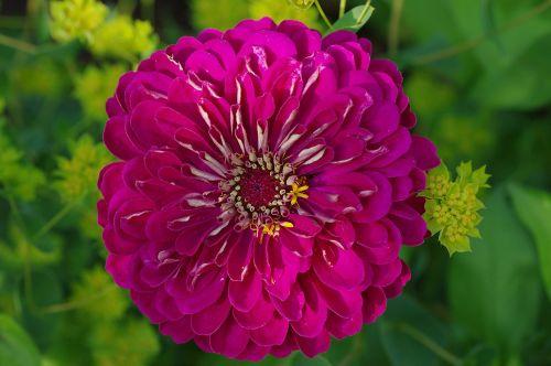 žiedas,žydėti,gėlė,rožinis,augalas,žydėti,makro,gamta,Uždaryti