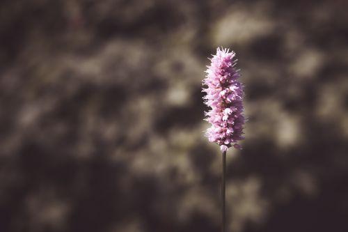 gėlė,parko gamykla,violetinė