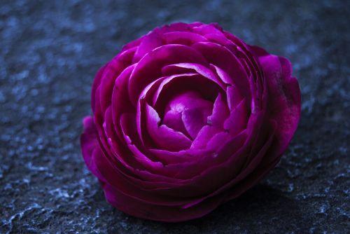 gėlė,spalvos,gėlių spalvos rausva,gėlės,spalva rožinė,gamta,spalva,rosa,pavasaris,augalas,mėlynas,sodas,subtilus,raudona,mėlyna spalva,apdaila