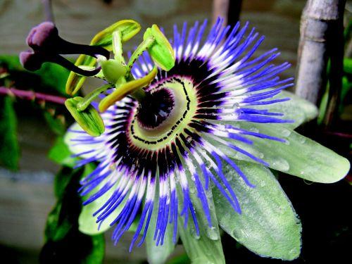 gėlė,aistrafloro,sodas,creeper,botanika,alpinizmas