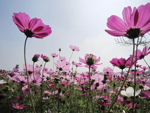 gėlė,kosmosas,mexico asteris,laukas,milteliai