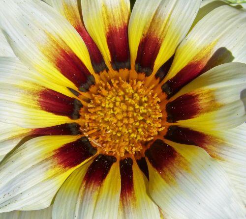 gėlė,žiedlapiai,žiedadulkės,išsamiai,čalis