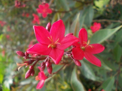 gėlė,gėlės,Šri Lanka,gamta,peradeniya,ceilonas