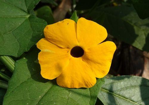gėlė,oranžinė,Thunbergia alata,juodakakis susanas,vynmedis,žolinis,daugiamečio alpinistinio augalo,acanthaceae,dekoratyvinis,augalas,žiedas,žydėti,makro,flora,Dharwad,Indija