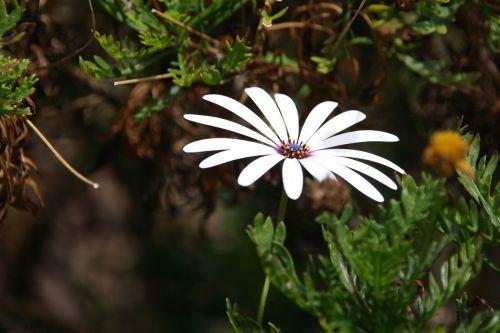 gėlė,žiedas,žydėti,balta,kalnų daisy,osteospermum ecklonis asteroideae,kompozitai