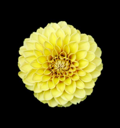 gėlė,izoliuota gėlė,skaidrus,natūralus,skaidrus fonas,skaidrūs vaizdai,nukirpimo kelias,apkarpymo kelio vaizdai,fono pašalinimas