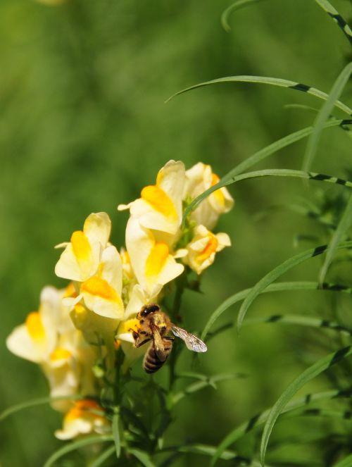 gėlė,augalas,Sumer,gamta,gėlių,natūralus,žalias,bičių,žiedas,žydėti,makro