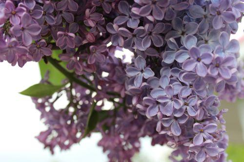 gėlė,gėlės,Alyva,laukinės gėlės,vasaros gėlės,sodo gėlės,gamta,gražios gėlės,augalas,filialas