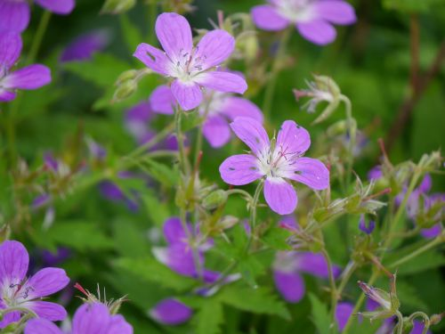 Gėlė, Mūsų, Pobūdis, Gėlės, Norvegija, Miškas, Holmestrand, Ro