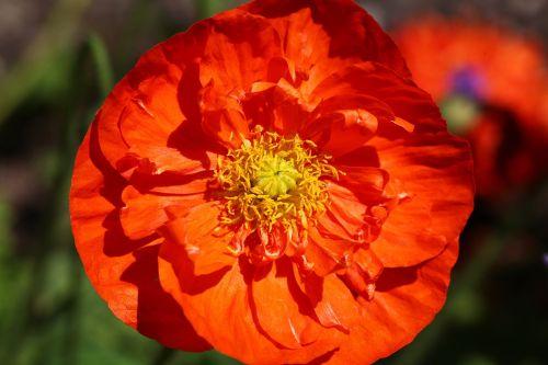 gėlė,oranžinė,aguona,žiedas,žydėti,ispanų aguonas,šviesus,Uždaryti,flora,aguonos gėlė,augalas