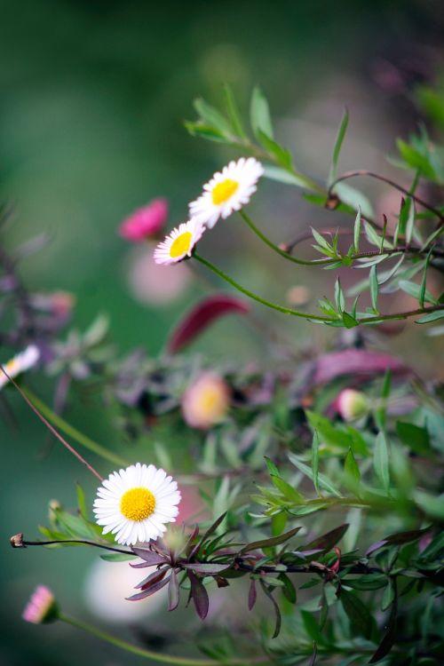 gėlė,sodas,gamta,pavasaris,žydėti,rožinis,geltona,balta,žalias,spalvinga,žiedas,natūralus,Daisy,šviežias,gėlių puokštė,puokštė,gėlių puokštė,gėlių puokštė,lapai,violetinė,apdaila,žydi