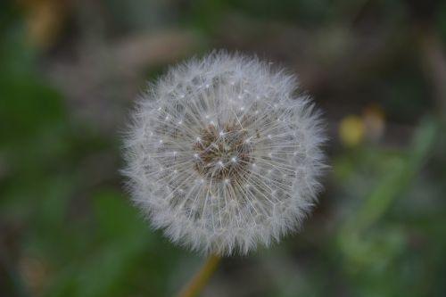 gėlė,kiaulpienė,flora,balta,gamta,augalai,laukas,botanika,botanikos flora