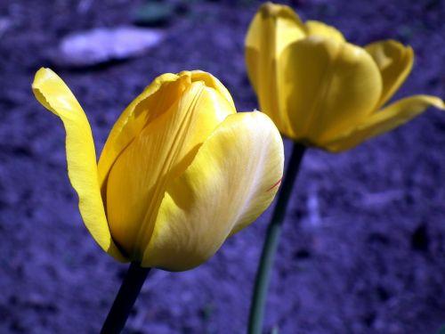 gėlė,tulpė,geltona,sodo gėlė,pavasaris,šviesus,tulpės,gėlės,žydėti,gamta,geltonos gėlės,gražus,sodas,sodo gėlės,mėlynas,pavasario gėlės,žiedlapiai,žiedlapis