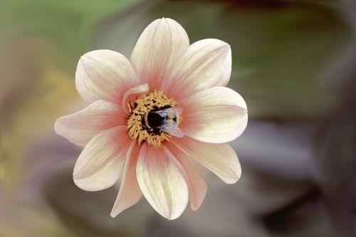 gėlė,žiedas,žydėti,Hummel,vabzdys,dahlia,dahlia sodas,gamta,vasara