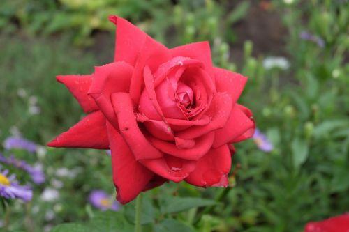 Gėlė, Rožė, Kra, Raudona Roze, Graži Gėlė, Vienas Pakilo, Makro, Lašai, Žiedlapiai, Žalias, Gamta, Augalas, Vasara, Žydėti