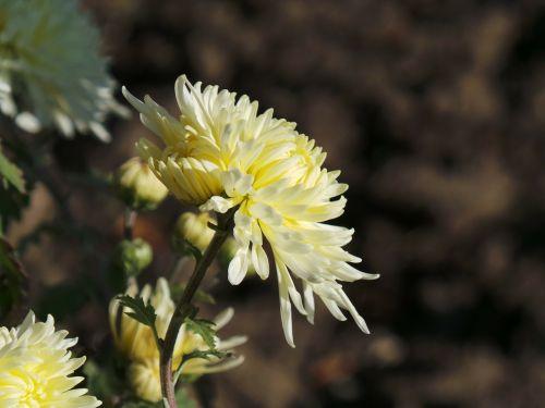 gėlė,graži gėlė,geltona,gamta,makro,ryškiai rausvos spalvos,sodo gėlė,lauke,ruduo,profilis,kairė pusė