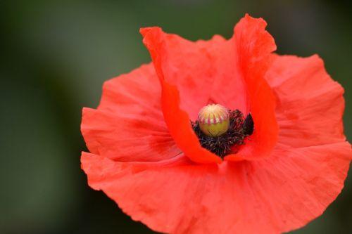 gėlė,augalas,aguona,gamta,pavasaris,laukinė gėlė,žalias,vasara,Uždaryti,žiedas,žydėti,sodas,makro,graži gėlė