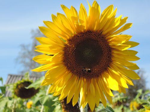 gėlė,saulėgrąžos,geltona,augalas,vasara,didžiulė gėlė,geltonos gėlės,dacha