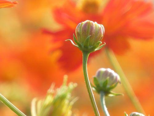 gėlė,budas,viltis