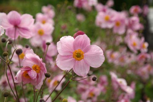 žiedas,žydėti,rožinis,gėlė,kritimo anemonis,anemonis hupehensis,hahnenfußgewächs,ranunculaceae,dekoratyvinis augalas,parko gamykla,sodo augalas,schnittblume,flora,ruduo,rudens sodas