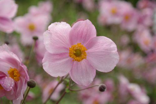žiedas,žydėti,rožinis,gėlė,kritimo anemonis,anemonis hupehensis,hahnenfußgewächs,ranunculaceae,dekoratyvinis augalas,parko gamykla,sodo augalas,schnittblume,flora