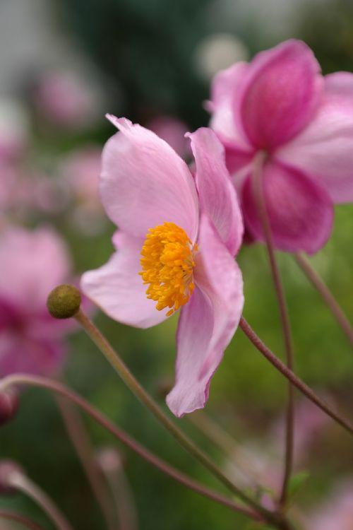 žiedas,žydėti,rožinis,gėlė,kritimo anemonis,anemonis hupehensis,hahnenfußgewächs,ranunculaceae,dekoratyvinis augalas,parko gamykla,sodo augalas,schnittblume,flora,tuti,geltona,mm
