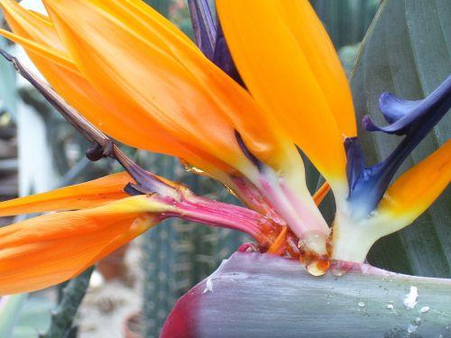 gėlė,žiedas,žydėti,augalas,ekologija,žemė,augimas,kvepalai,trapi,stiebas,žiedadulkės,šviežias,oranžinė,atogrąžų,egzotiškas