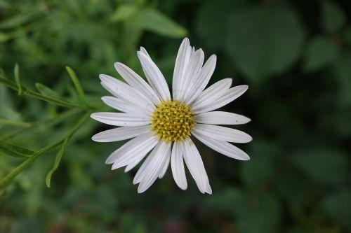 gėlė,gamta,balta gėlė,graži gėlė,laukinė gėlė,žydėti,augalas,pavasaris,balta