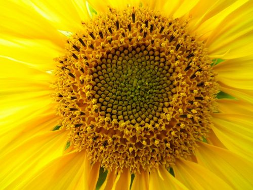 gėlė,gėlės,saulėgrąžos,geltona,saulėtas,didžiulė gėlė,didelis,gražus,tvirtas,šviesus