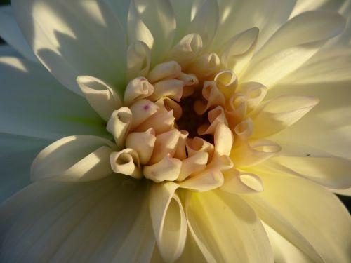 gėlė,žiedas,žydėti,balta,kauliukai,sepal