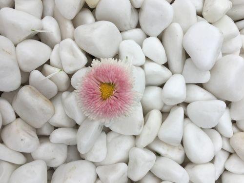 gėlė,dell,balta,rožinis,Daisy,augalas,apdaila,spalvinga,natiurmortas,gamta,frühlingsanfang,pavasaris,spalva,gražus,flora,žydėti,pavasario požymiai,gėlių sveikinimas