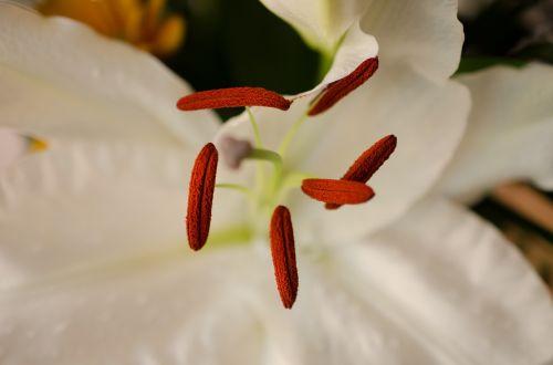 gėlė,balta gėlė,makro,Uždaryti,lelija,tvirtas,žiedadulkės