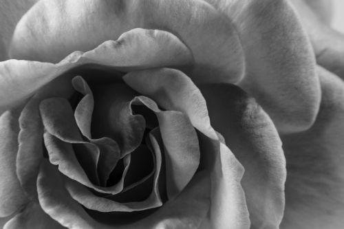 gėlė,gėlės,juoda,balta gėlė,maža gėlė,subtilus gėlė,gamta,makro,fotografija,baltas fonas,subtilus