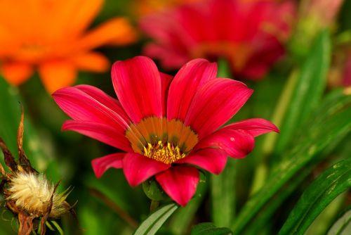 Gėlė, Raudona, Žalias, Amasya, Turkija, Augalas, Gamta, Sodas, Raudona Gėlė, Doga, Gražus, Gėlės, Gėlių Paveikslėlis, Raudona Çiçekcik, Rožinis, Ruduo, Geltona Raudona, Geltona, Pavasaris