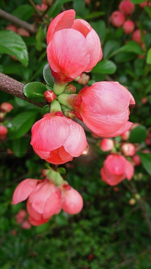gėlė,gėlės,sodo gėlės,augalas,gražios gėlės,rožinis,rožinė gėlė,graži gėlė,pavasario gėlės,gamta,sodas,budas,pavasaris