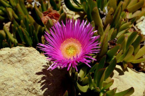 gėlė,Australijos krūmų gėlė,violetinė,žiedas,žydėti,purpurinė gėlė,laukinė gėlė,augalas,Uždaryti,gamta,vasara