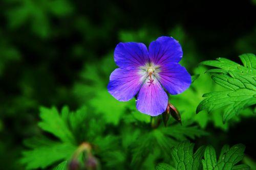 gėlė,žiedas,žydėti,cranebill,liūtys,vasaros pradžia,sodas,gamta,subtilus gėlė,maža gėlė,Uždaryti,vasaros gėlė,augalas