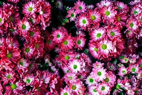 gėlė,Grožis,gražus,Vietnamas,gėlės žydi,šviežias,grožis,natūralus,rožinis,žalias