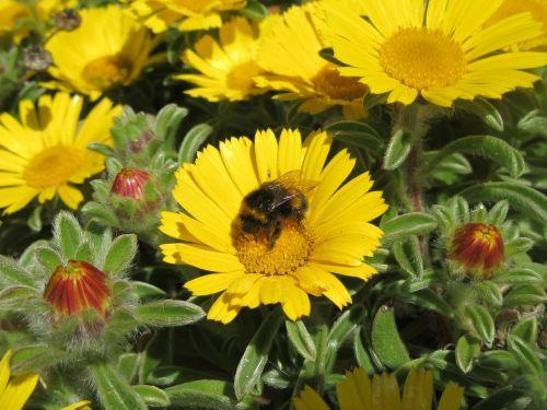 gėlė,bičių,Daisy,geltona,vasara,žiedadulkės,nektaras,gamta,augalas,gėlių,žydėti,natūralus,sodas,spalva,sezonas,saulėtas