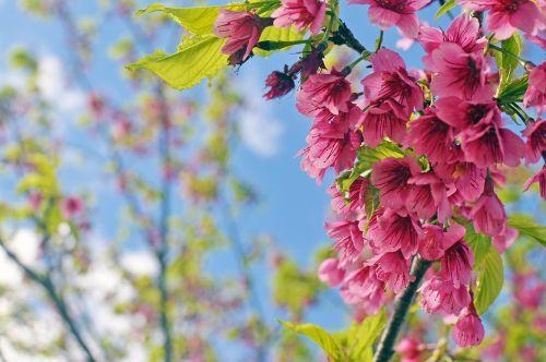 gėlė,vyšnių žiedas,rožinė gėlė,raudonos gėlės,graži gėlė