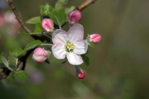 gėlė,Kovas,pavasaris,žiedlapiai,budas
