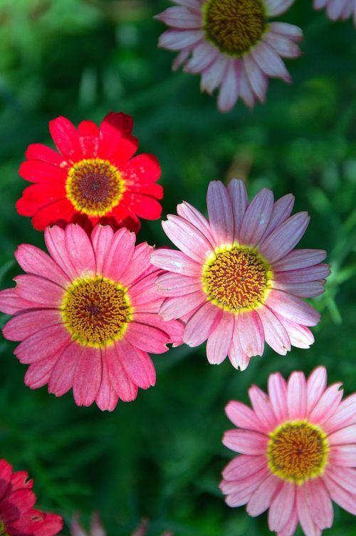 gėlė,vasaros gėlė,žiedlapis,žiedlapiai,rožinis,vasara,gėlių sodas,vasaros augalai,gamta,gėlės,vasaros gėlės