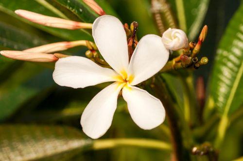gėlė,frangipani gėlė,plumeria gėlė,penki žiedlapių gėlių,balta gėlė,žvaigždė gėlė,viena gėlė,balta geltona gėlė