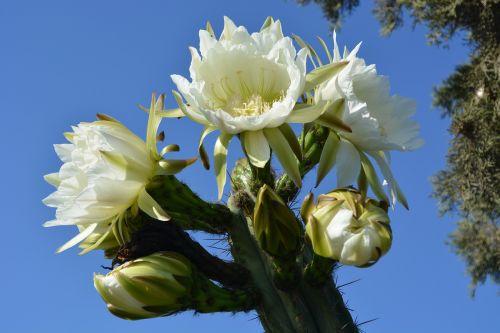 gėlė,žydintis kaktusas,gėlės,sodas,žydėjimas,kaktusiniai gėlės,kaktusas,augalai,žydėti,žydintys