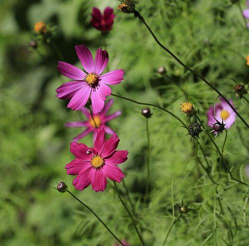 gėlė,vasara,gamta,sodo gėlė,graži gėlė,žydėti,geltona,makro,lelija,gėlės,mėlyna gėlė,cikorija,sodas,dahlia,drugelis,geliu lova,skristi,gražus,atostogos,plumeria,Tailandas,bulvės,purpurinė gėlė,diena,lelija,didžiulė gėlė,oranžinė,dacha,tuti,tvirtas,gėlių georhina