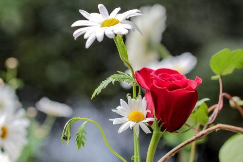 gėlė,Daisy,rosa,sodas,gėlės,pavasaris,gamta,žiedlapiai,augalai,kalnų daisy,makro